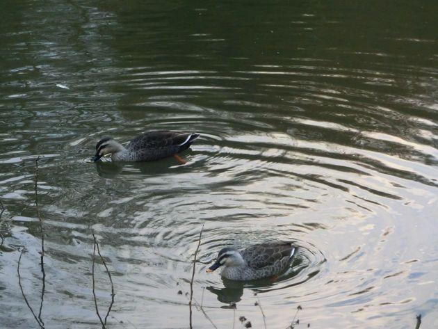 池にはかわいいカモが住んでいます