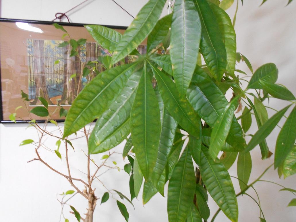 事業所の観葉植物の新芽がかわいいです。